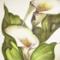 CALLA LILLY FLOWER EVA APPLE OF DESIRE